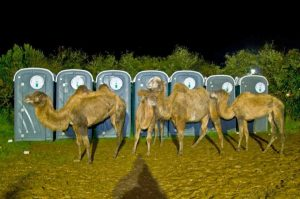 Camels Coming out to Play